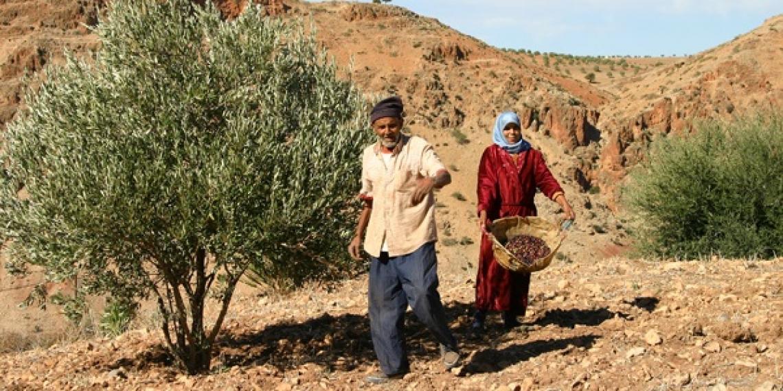 Il Marocco olivicolo: dalle tradizionali maâsra alla selezione clonale