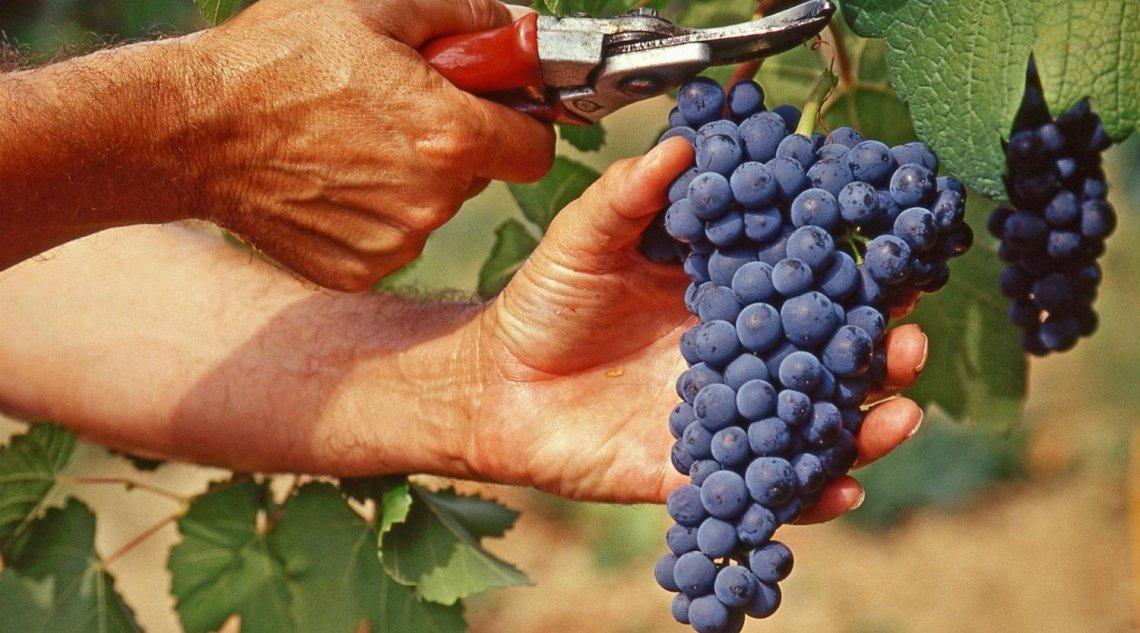 Con la vendemmia avvio dell'automazione delle dichiarazioni per i viticoltori