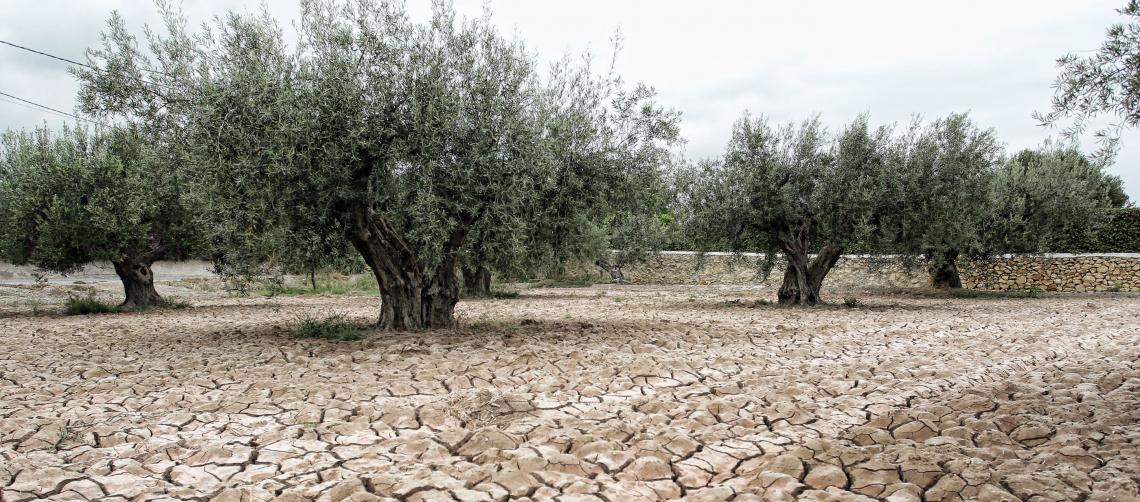 Trattamenti utili per far sopportare all'olivo caldo e siccità