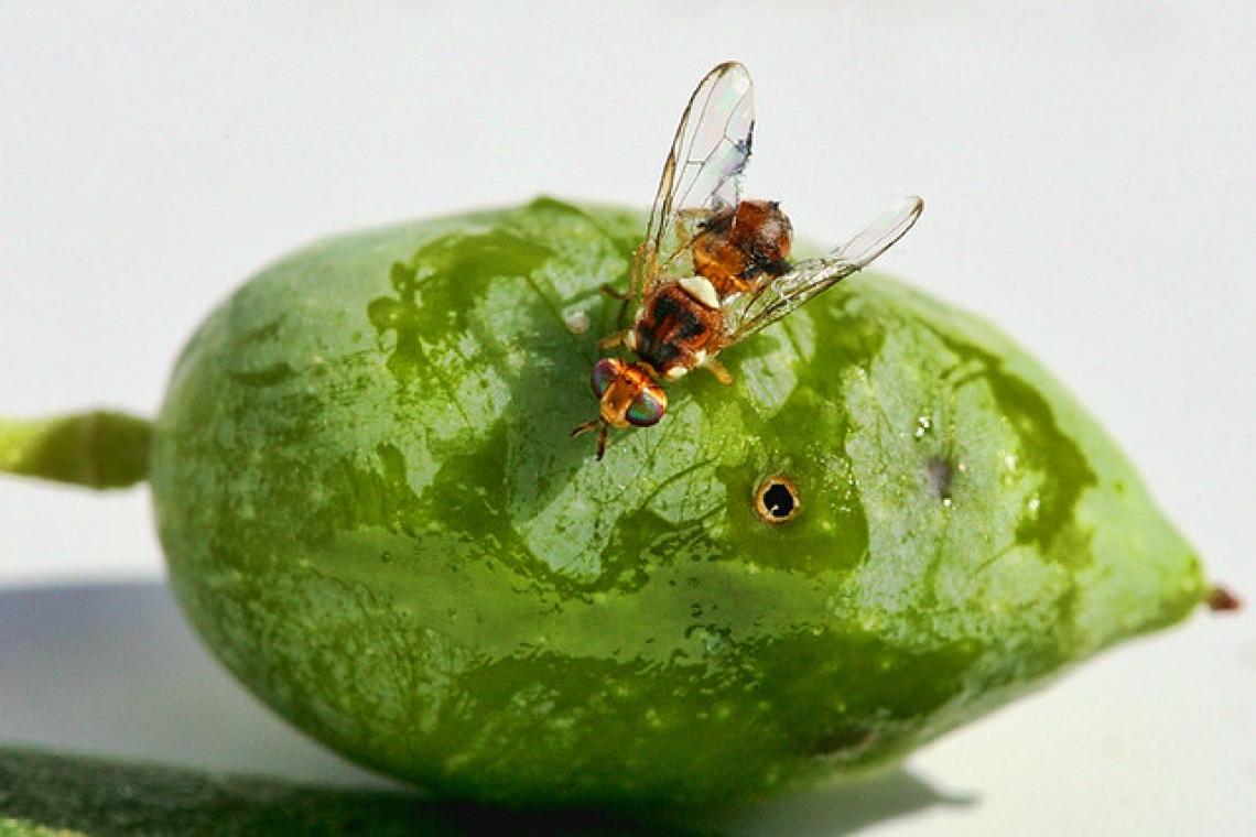 Le reti contro la mosca delle olive per un'olivicoltura biologica di alta qualità