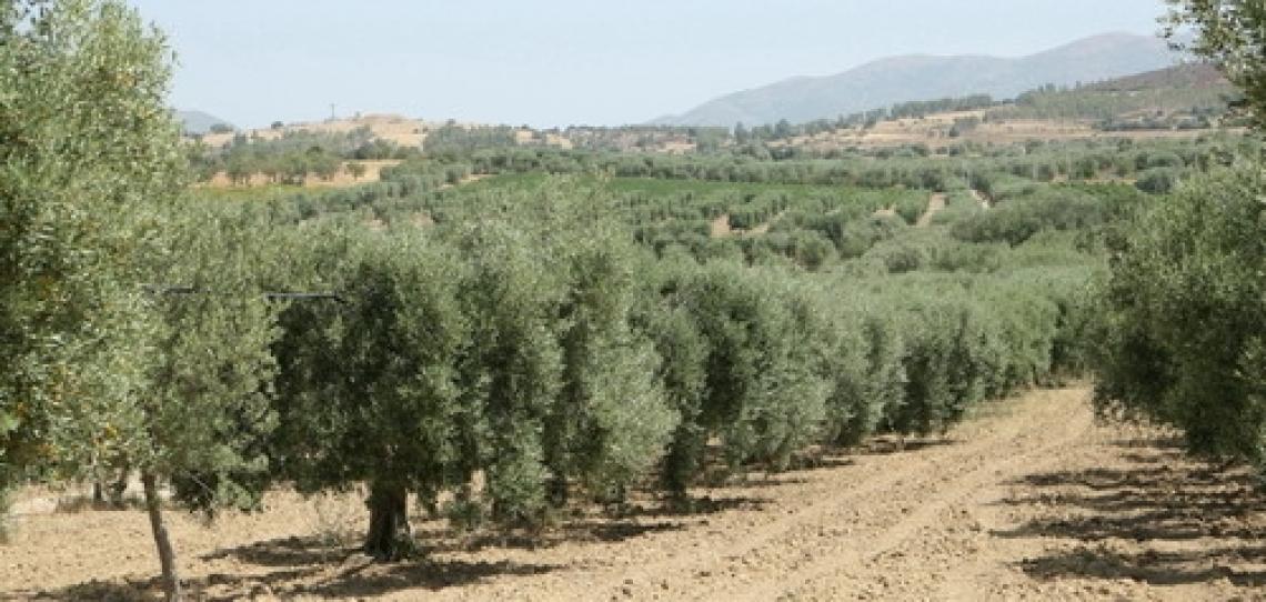 Carciofo e olio extra vergine di oliva si uniscono per incentivare le Dop