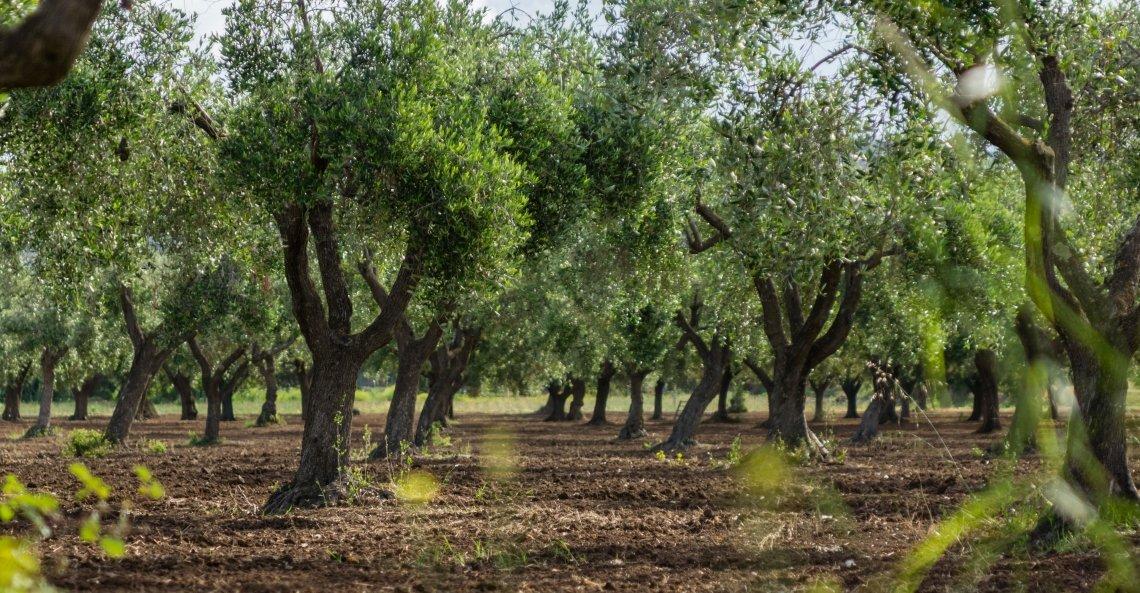 L'olio d'oliva Igp Calabria punta al mercato