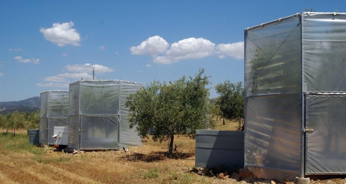 I cambiamenti climatici riducono la produttività dell'olivo