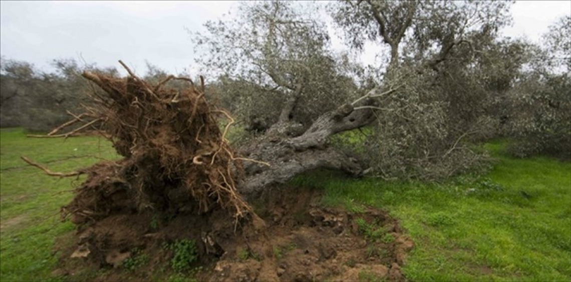 E' battaglia sull'autorizzazione al reimpianto degli oliveti nella zona colpita da Xylella