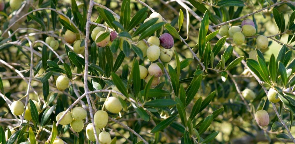 Anche la concimazione azotata può ridurre l'incidenza della mosca delle olive