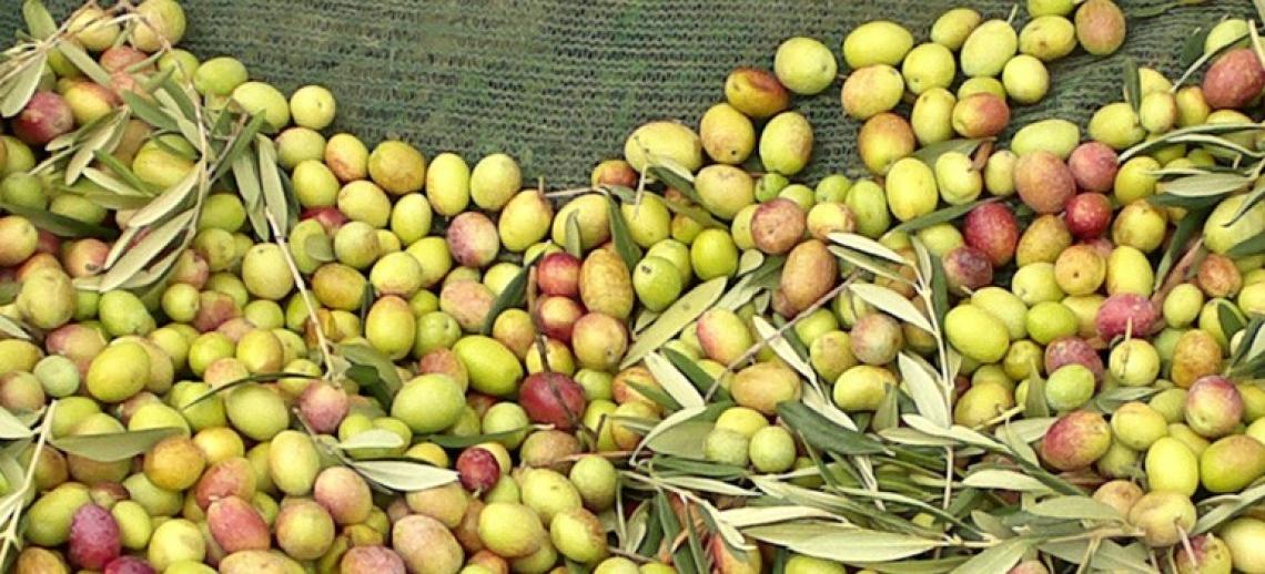 Un altro annus horribilis per l'olio d'oliva siciliano