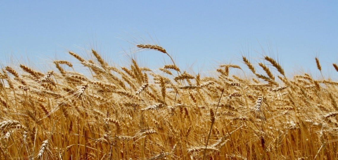 CO2 in aumento: più produttività per il grano ma meno qualità
