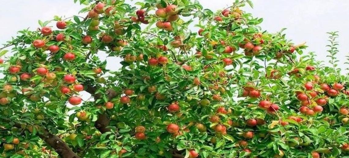 Nei semi essiccati recuperati da scavi archeologici la storia del melo