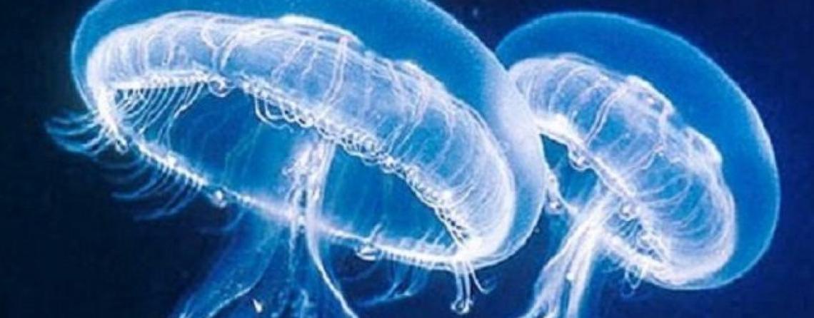 Non solo insetti, anche le meduse sono fonte di proteine alimentari