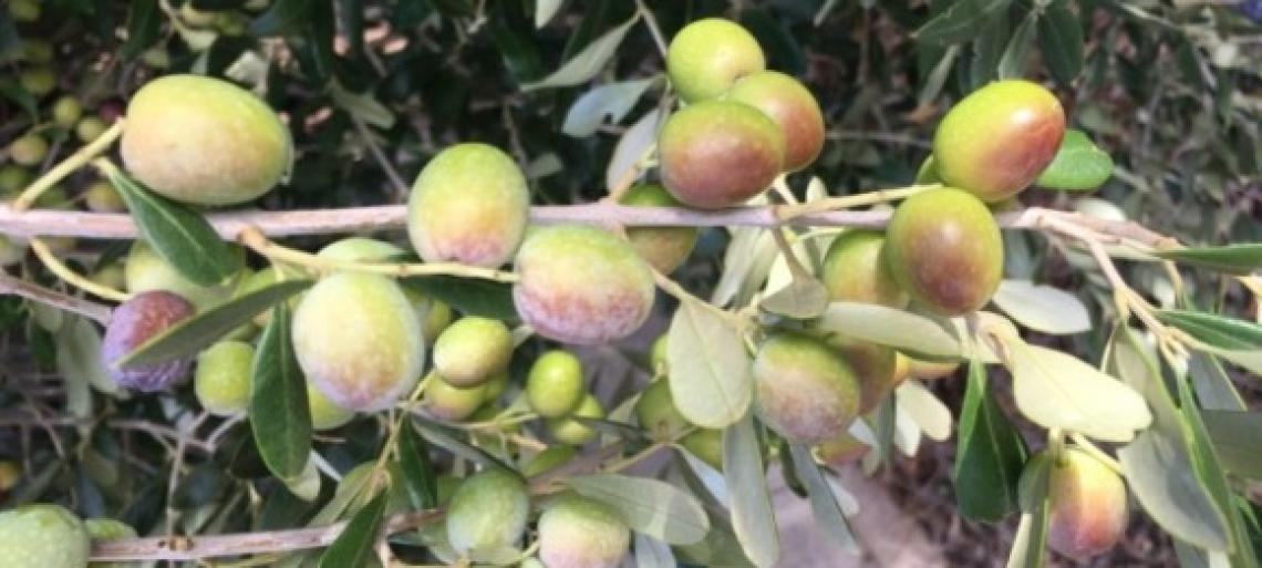 Unaprol torna a promettere 100 mila piante al Salento