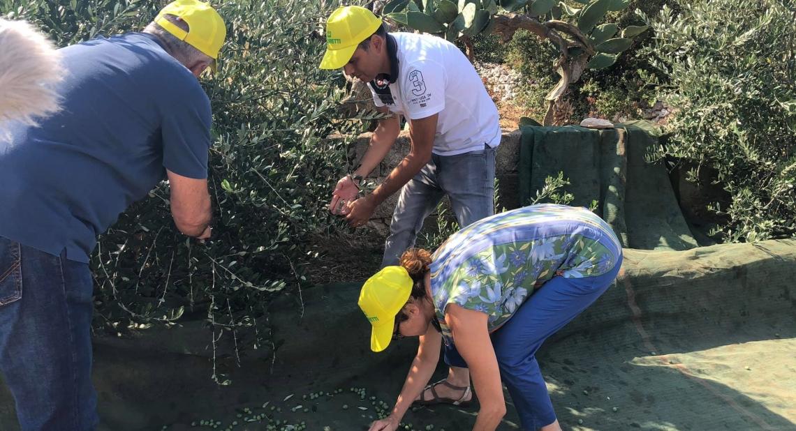 Raccolta delle olive ad agosto? E' solo una prova