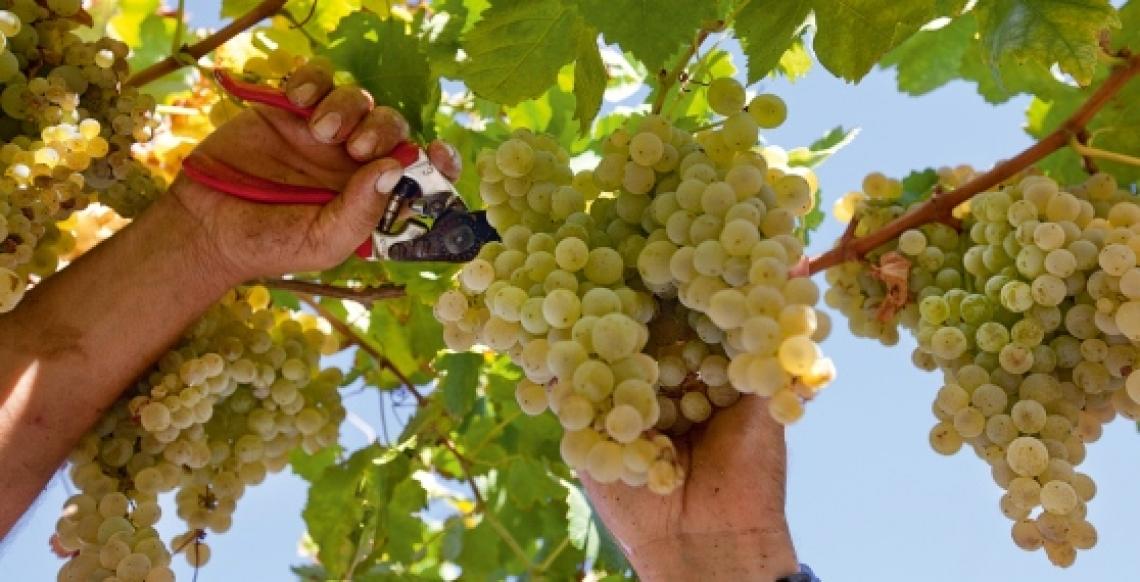 Italia primo produttore mondiale di vino