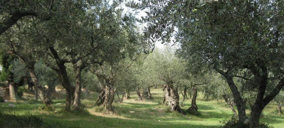 La Calabria olivicola rialza la testa: ottime previsioni per il prossimo raccolto