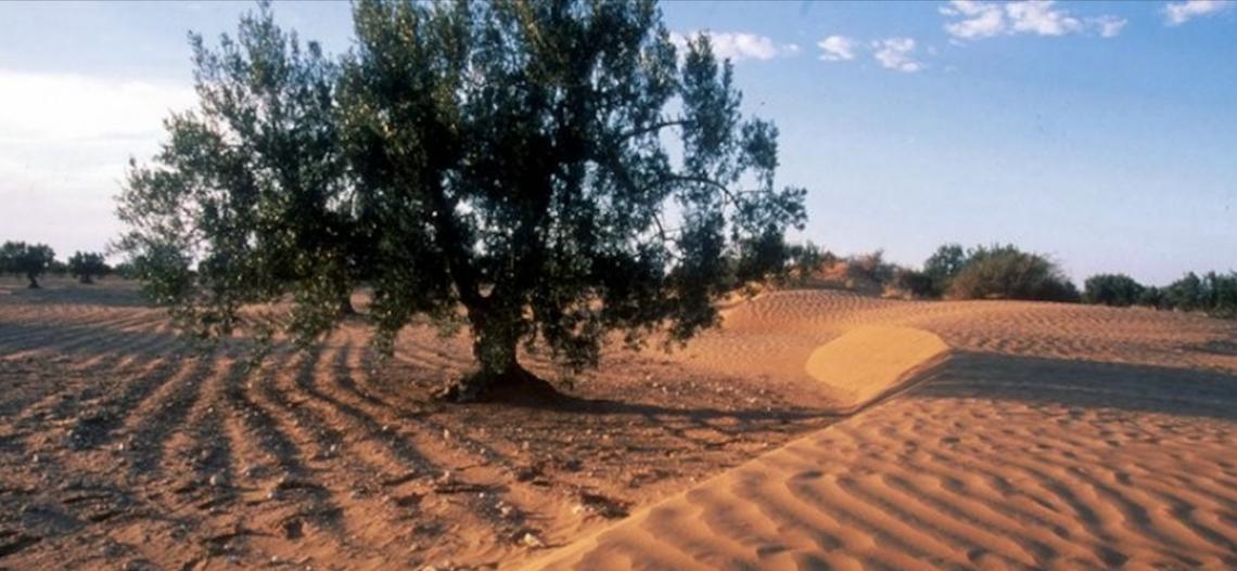 L'olivo nell'ostico e inospitale deserto del Negev