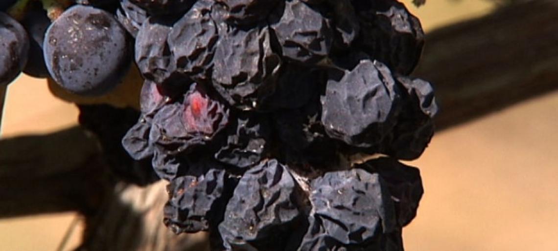 Uva e vino: l'impatto del global warming sulla produzione e le qualità nutrizionali per la salute