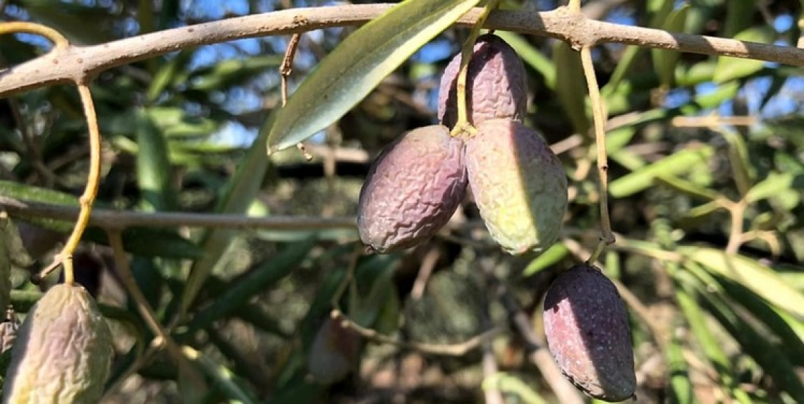 Allarme per l'olivicoltura italiana: al centro la mosca, al sud la siccità