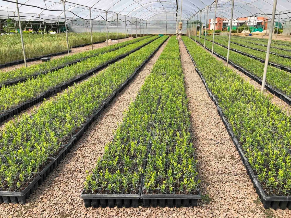 Perchè far olio se si possono produrre foglie d'olivo