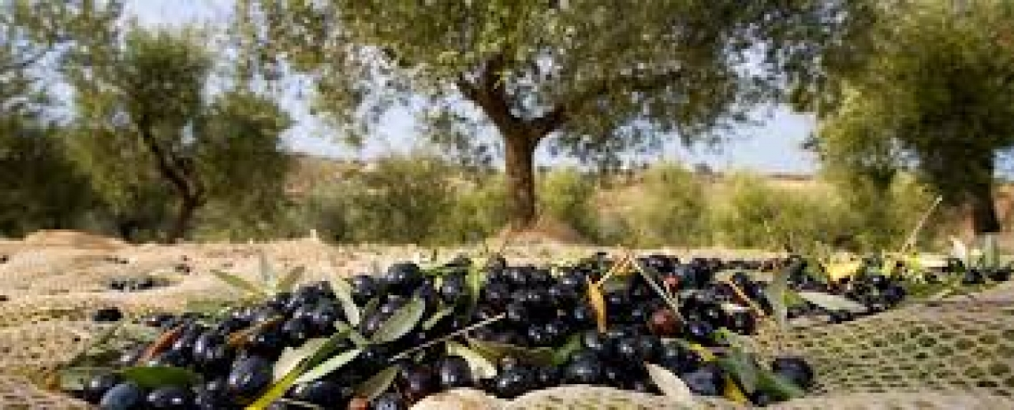 L'olivicoltura umbra alla ricerca di un nuovo spazio economico