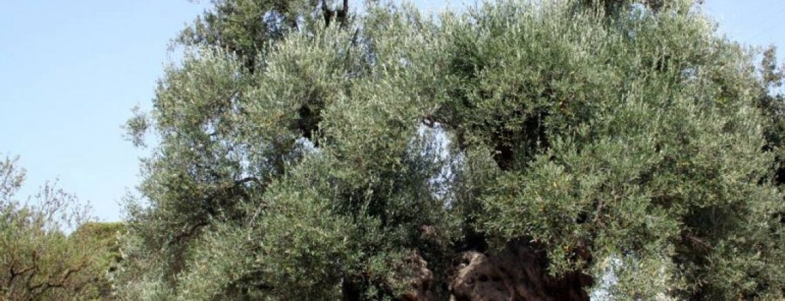 In Calabria si parla del futruro dell'olivicoltura italiana: un occhio alla produzione, uno al mercato