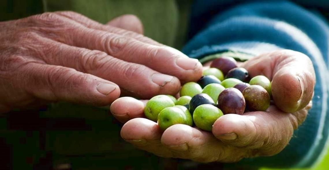 Campagna olearia italiana ferma: prodotto il 20% delle stime