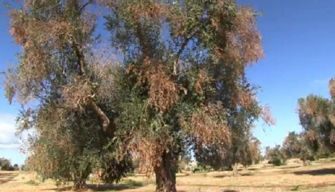 Oltre alla sputacchina c'è di più: gli altri insetti che possono contagiare gli olivi con Xylella fastidiosa