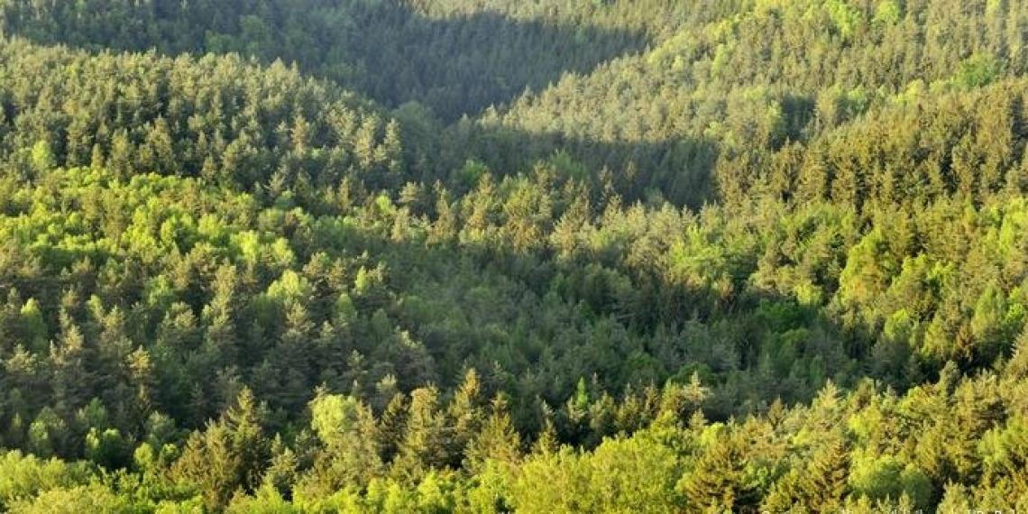 I profumi dei boschi e delle foreste dipendono dagli oli essenziali