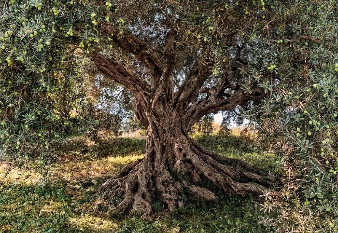 La lavorazione del suolo dell'oliveto ne distrugge la fertilità
