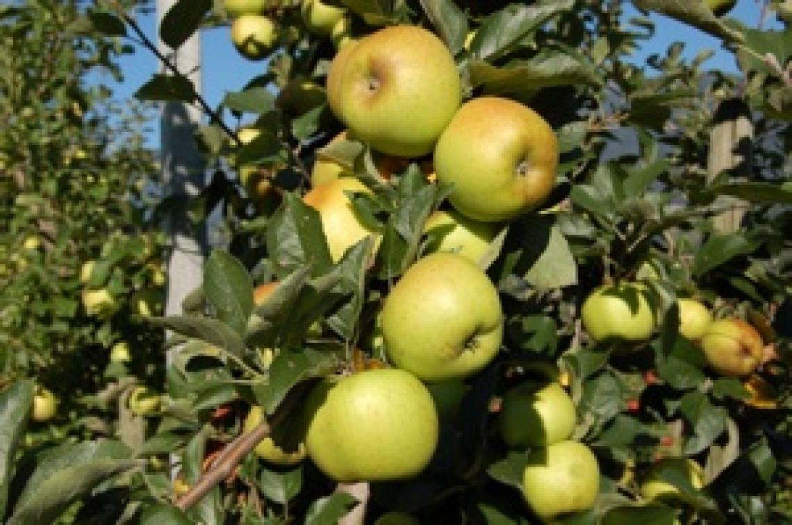 Le mele renette del Canada sono un toccasana contro il colesterolo