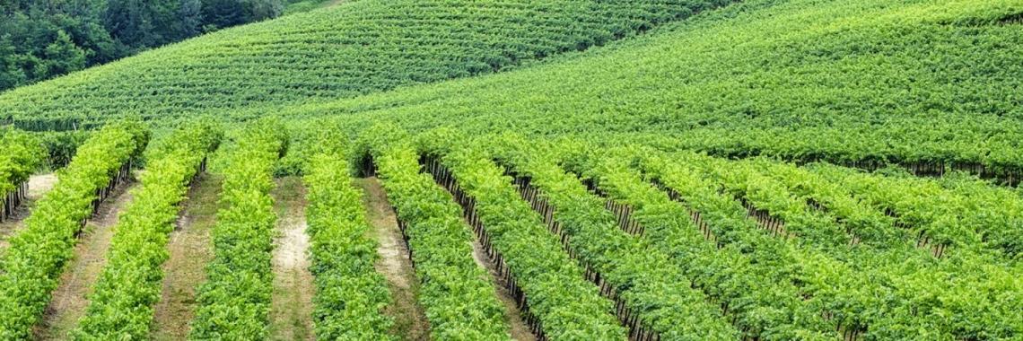 Nuovi vitigni per i Colli Piacentini: più qualità e contrasto ai cambiamenti climatici