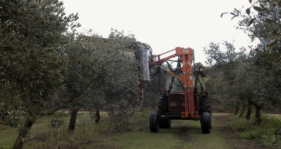 L'influenza della potatura meccanica sulla produzione dell'olivo