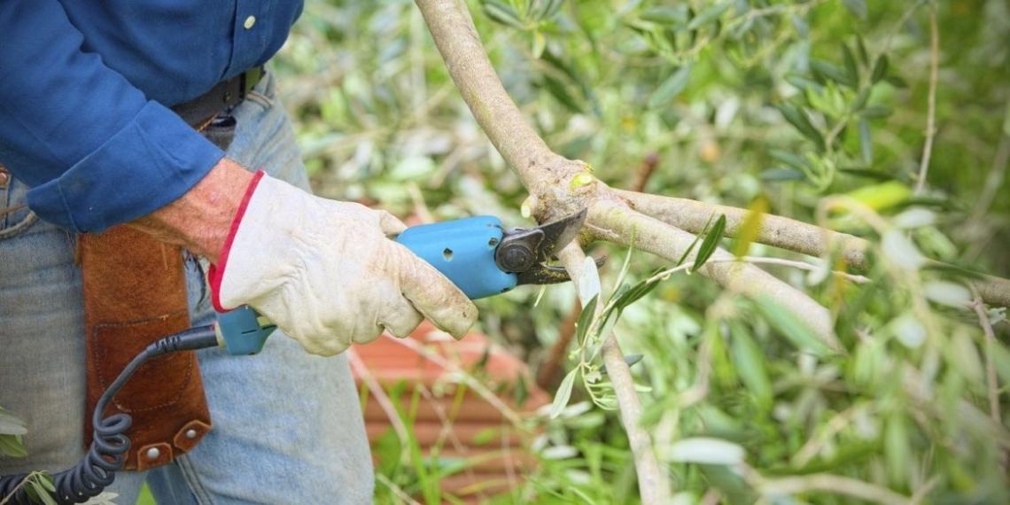 Ogni sistema di raccolta dell'olivo vuole una sua potatura