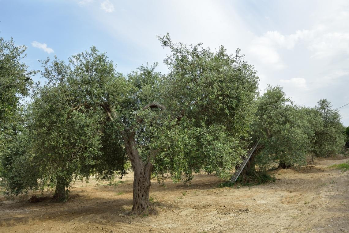 Una corretta concimazione può attenuare i danni da salinità su olivo