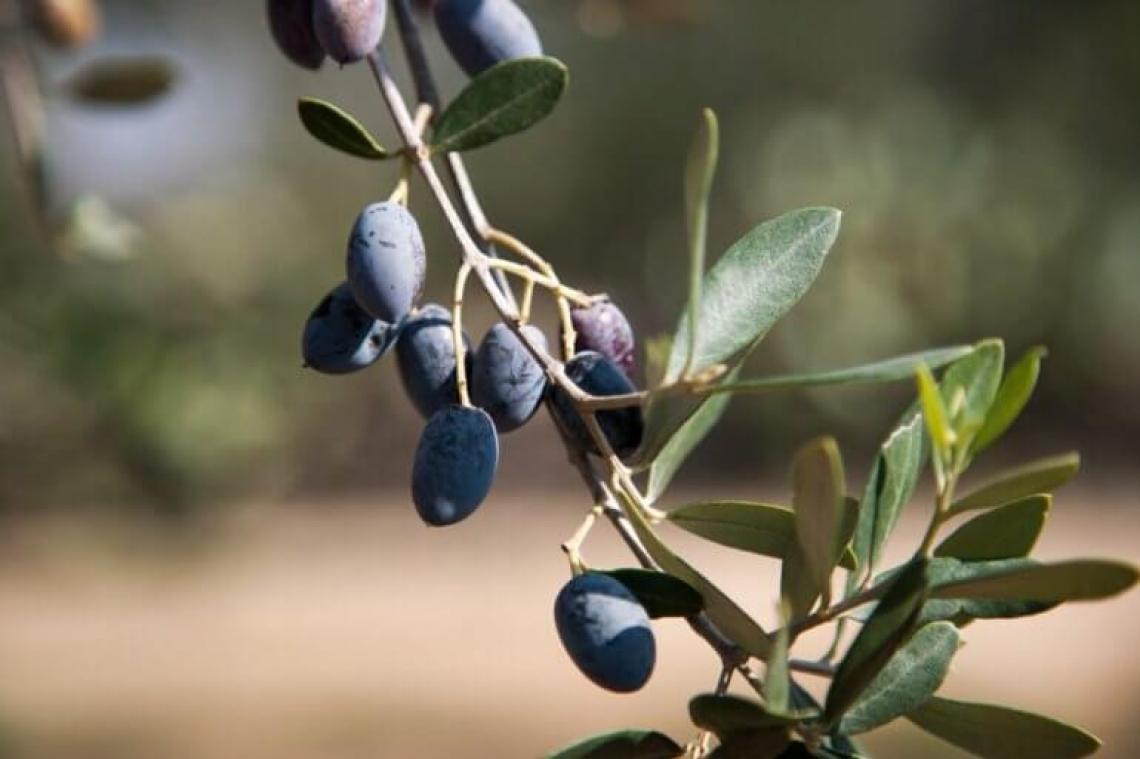 Salvare la Cellina di Nardò coltivandola fuori dal Salento come oliva da tavola
