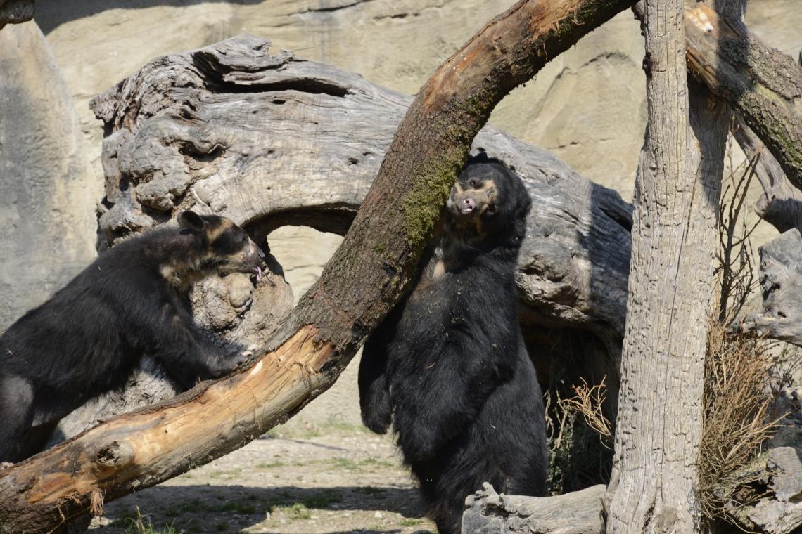 La coppia di orsi dagli occhiali d'Italia festeggia le nozze d'argento