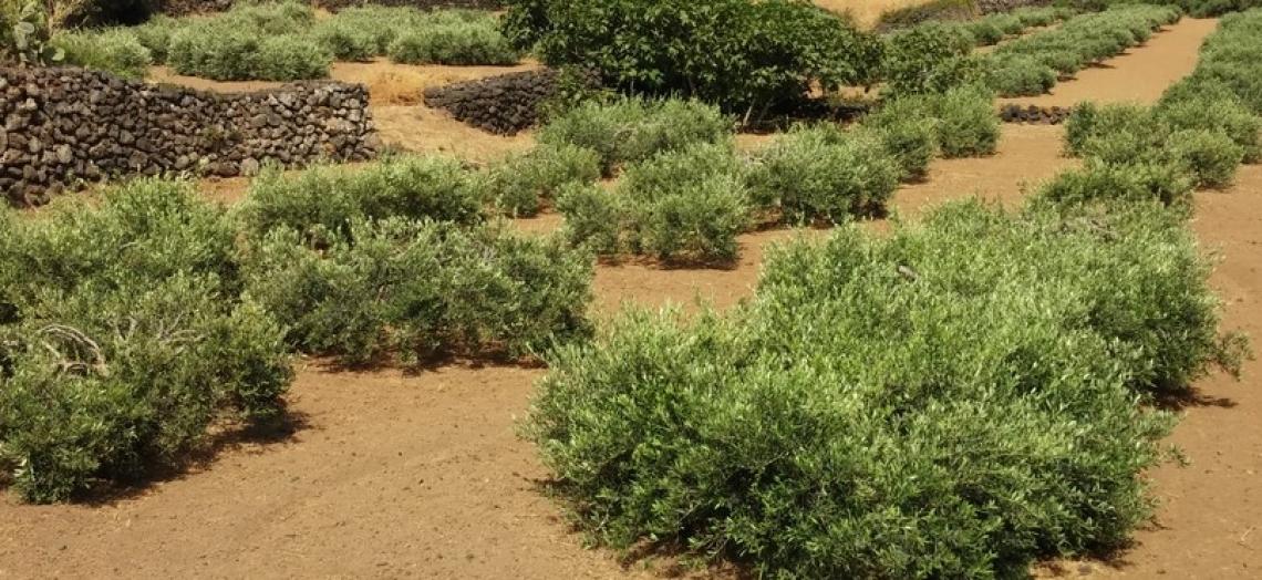 Le esigenze di formazione degli olivicoltori siciliani, anche a Pantelleria