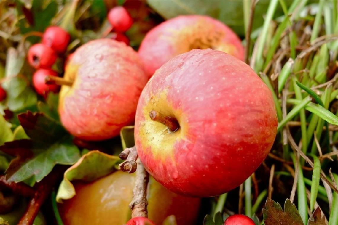 Alla scoperta delle virtù salutari di due antiche varietà di mele Toscane