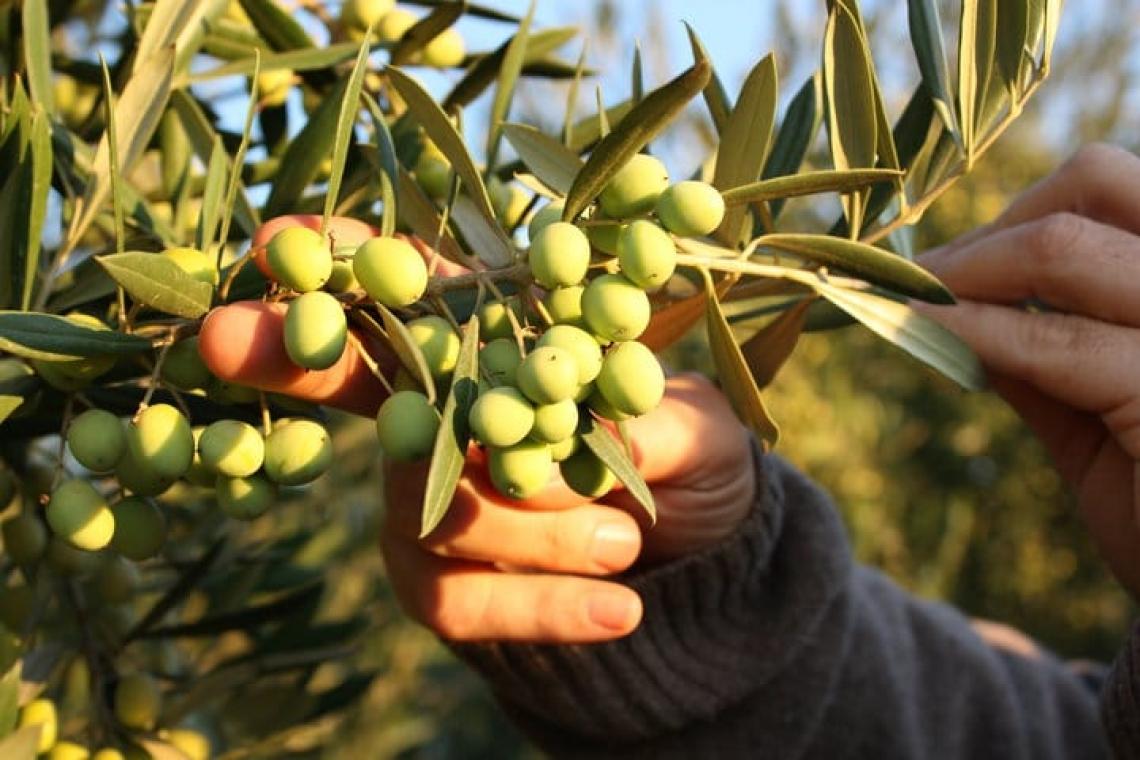 La fertilizzazione organica dell'oliveto può portare a incrementi di produttività del 55%