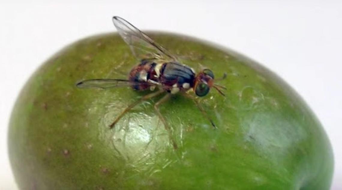 L'influenza della concimazione azotata sulla dannosità della mosca delle olive