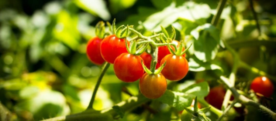 No all'accordo sul pomodoro biologico: svilisce il prodotto
