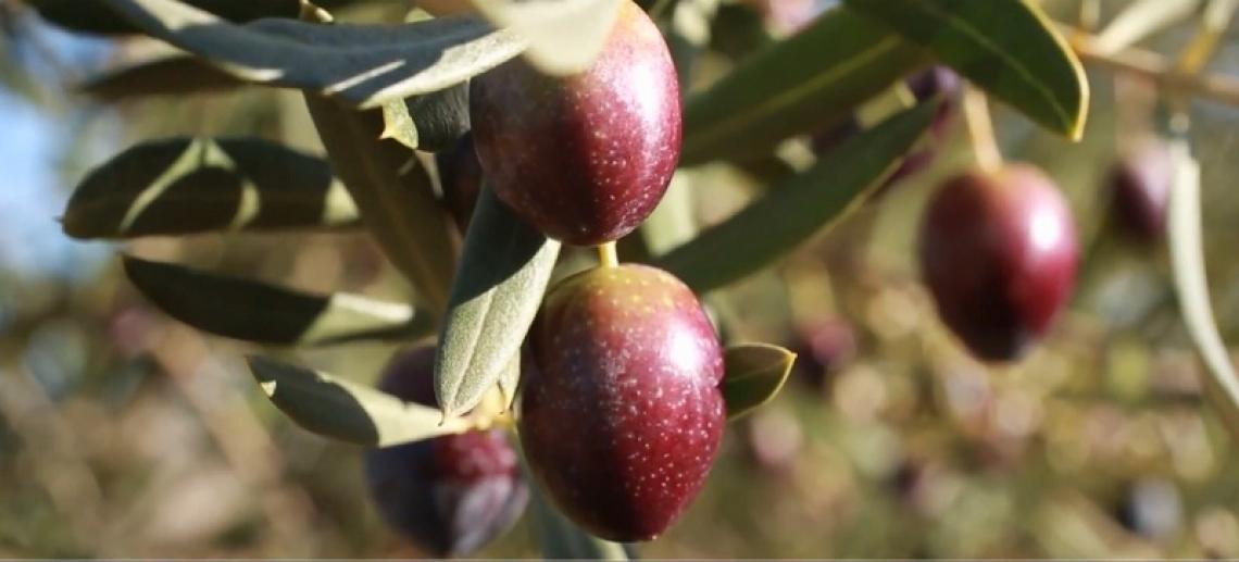 L'olivicoltura biologica spagnola ferma al palo