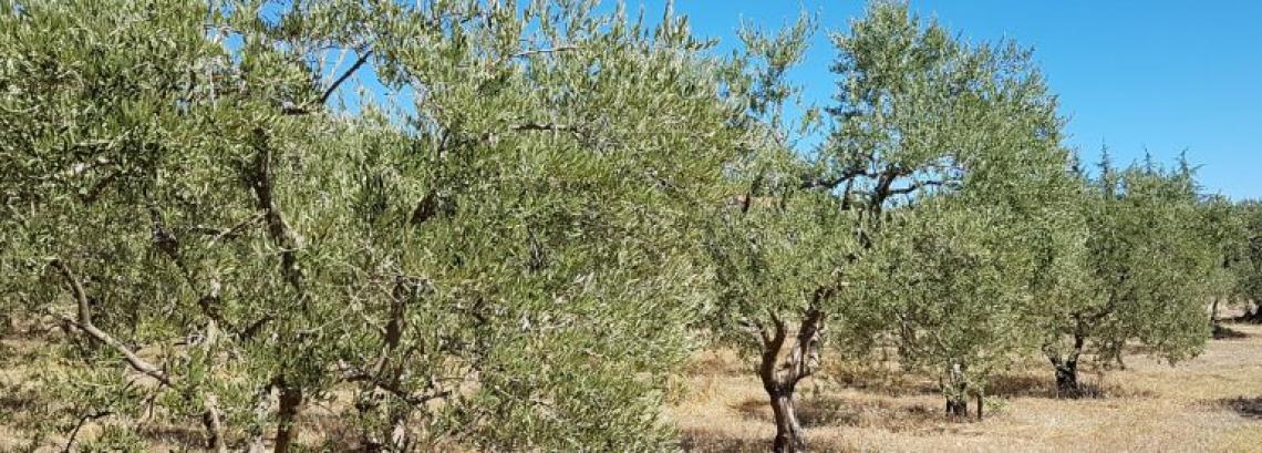 L'olio extra vergine della Provenza francese è a denominazione d'origine