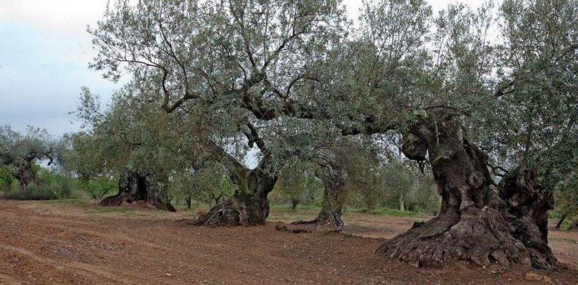 1,2 milioni di euro all'anno per gli olivi monumentali della Catalogna