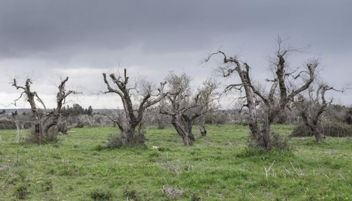 La diffusione di Xylella in Puglia non si arresta