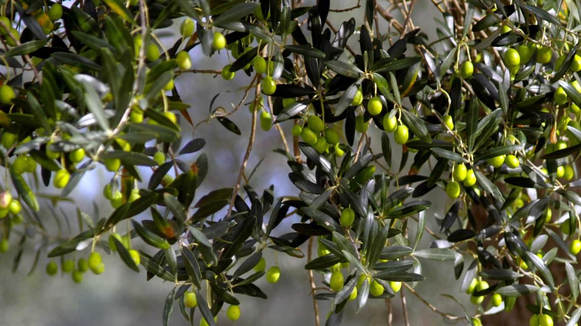 Concimazione al suolo con acido umico e zolfo per migliorare la produttività dell'olivo