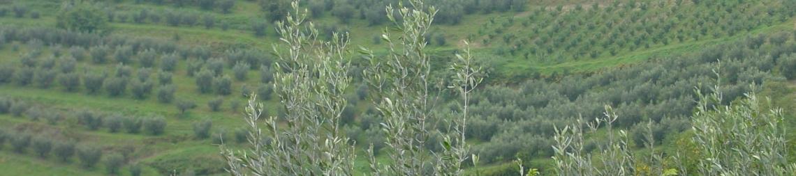 Il diverso impatto ambientale delle olivicolture di Grecia, Italia e Spagna