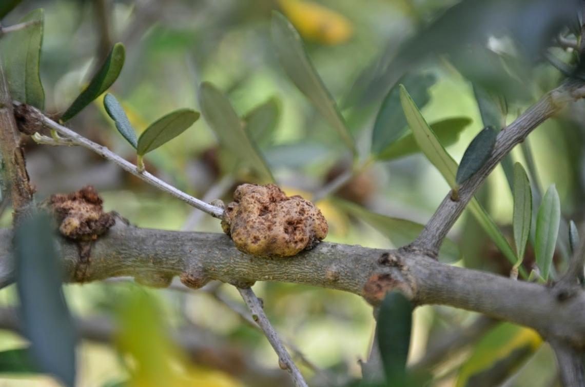 La possibile relazione tra gelate tardive e una maggiore incidenza della rogna dell'olivo