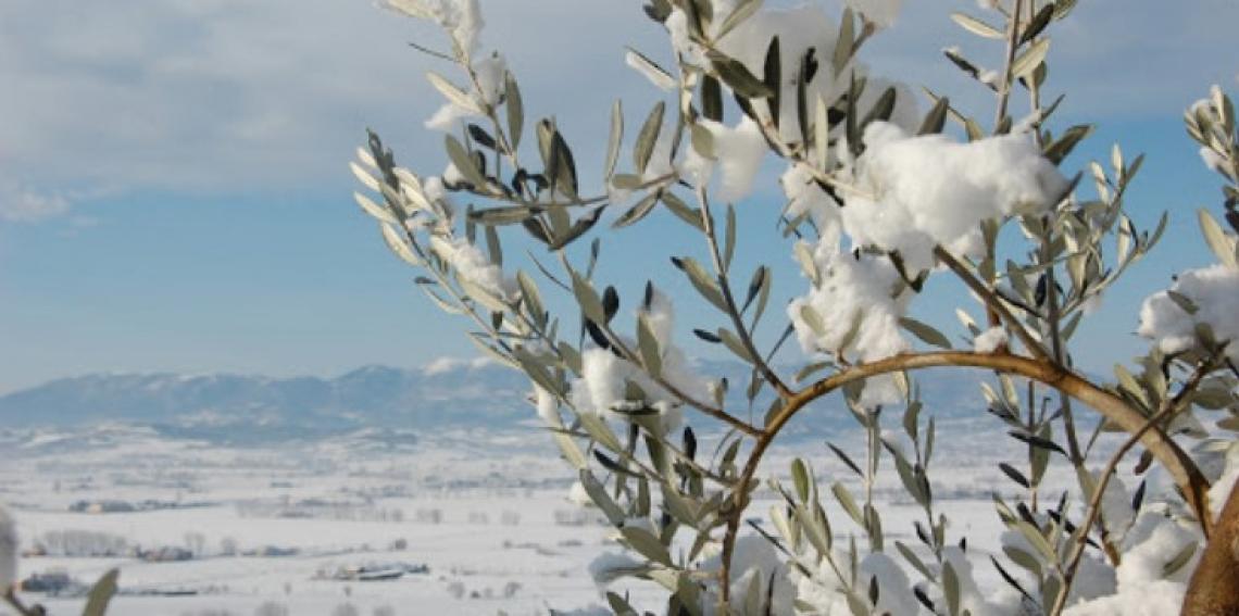 L'olivo può andare in stress idrico anche in inverno