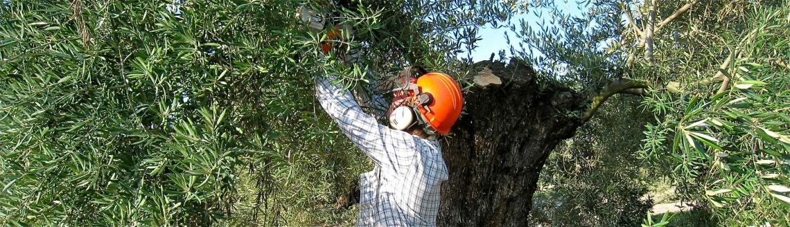 La sicurezza di lavoro nell'oliveto ai tempi del coronavirus e oltre