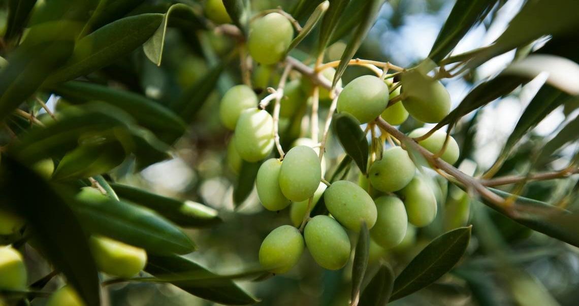 La mancata concimazione potassica dell'oliveto può ridurre la fioritura dell'olivo