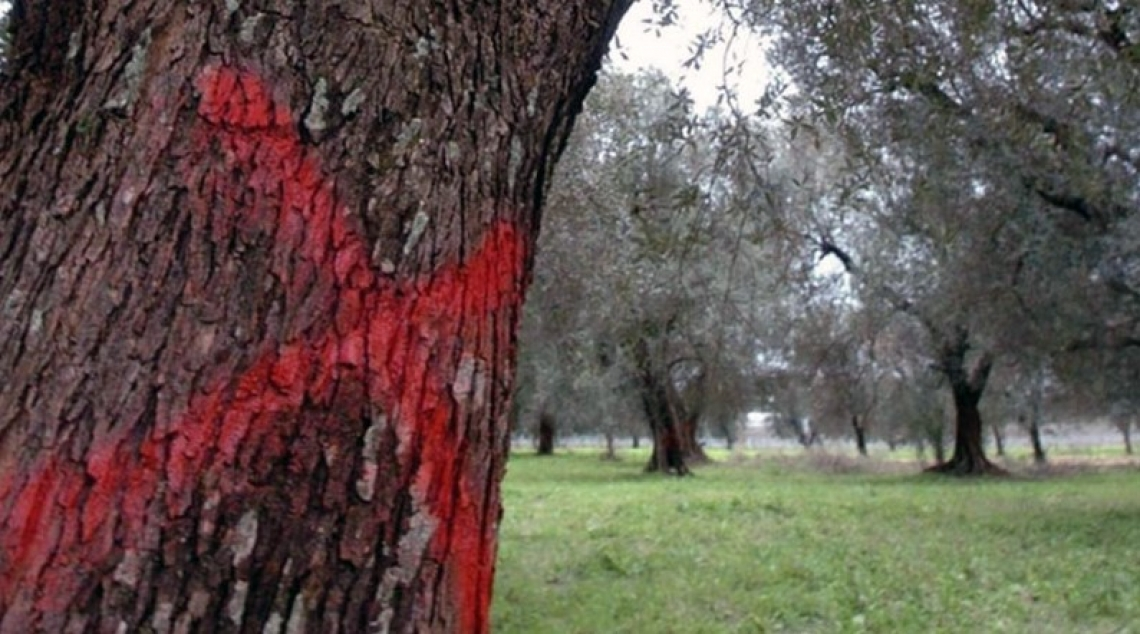 Il Covid-19 si allea con Xylella fastidiosa: stop ai monitoraggi in Puglia